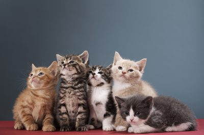 5 Popular Cat Breeds in New Zealand
