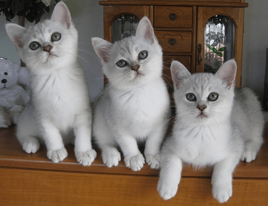 Cat-breed-New-Zealand