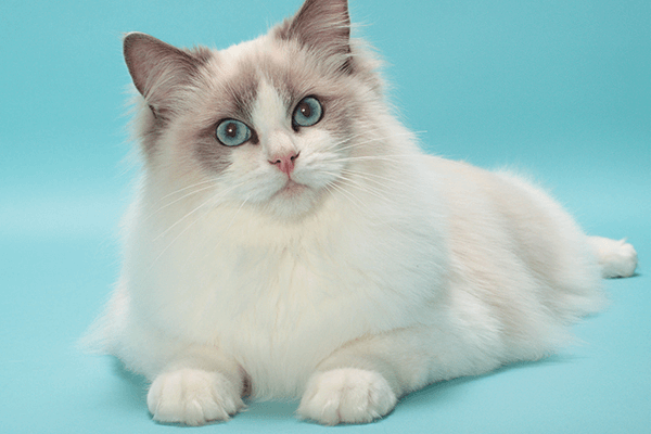 Cat-breed-in-New-Zealand