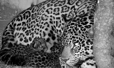 3 legged Jaguar Gives Birth To Cubs in Argentina Park