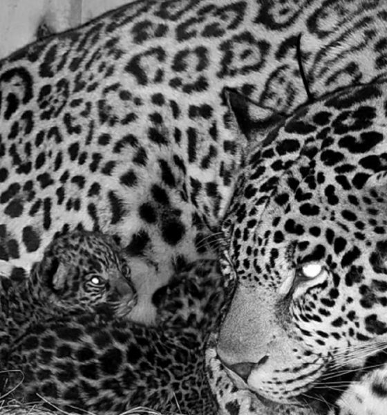 3 legged Jaguar Gives Birth To Cubs in Argentina Park